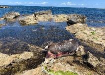 Trapani, una mucca morta sugli scogli nei pressi del porto
