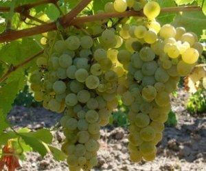 https://www.tp24.it/immagini_articoli/01-07-2016/1467370848-0-crisi-vitivinicola-enzo-maggio-scrive-alle-amministrazioni-di-marsala-e-petrosino.jpg