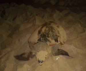 https://www.tp24.it/immagini_articoli/01-08-2018/1533120470-0-tartaruga-caretta-caretta-depone-uova-anche-lido-valderice.jpg