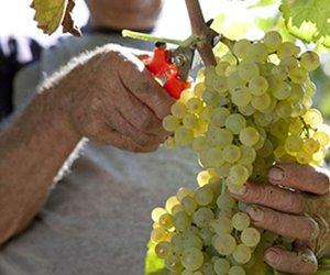 https://www.tp24.it/immagini_articoli/01-09-2015/1441131942-0-vino-a-marsala-e-dintorni-si-prevede-ottima-vendemmia-10.jpg