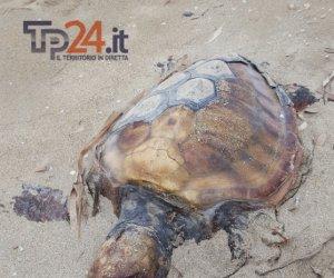 https://www.tp24.it/immagini_articoli/01-10-2016/1475334392-0-marsala-trovata-in-spiaggia-la-carcassa-di-una-tartaruga.png
