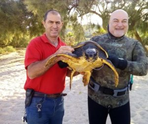 https://www.tp24.it/immagini_articoli/02-06-2018/1527963192-0-vito-capo-tartaruga-marina-caretta-caretta-salvata-diving-center-bahira.jpg