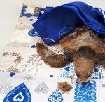 https://www.tp24.it/immagini_articoli/04-02-2019/1549282527-0-marsala-tartaruga-caretta-caretta-soccorsa-guardia-costiera-lido-signorino.jpg