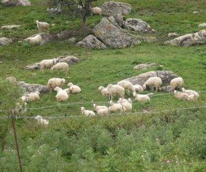 https://www.tp24.it/immagini_articoli/04-11-2016/1478239823-0-serrata-degli-allevato-di-pecore-e-capre-in-sicilia-ecco-perche.jpg