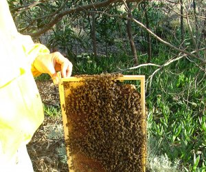 https://www.tp24.it/immagini_articoli/06-05-2016/1462568648-0-miele-e-api-le-aziende-siciliane-sono-al-sicuro-dall-insetto-killer.jpg