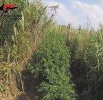 https://www.tp24.it/immagini_articoli/06-08-2018/1533548908-0-coltivavano-marijuana-mazara-arrestati-mentre-innaffiavano-piante.jpg