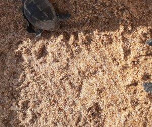 https://www.tp24.it/immagini_articoli/06-09-2019/1567789727-0-tartarughine-caretta-caretta-nascono-selinunte.jpg