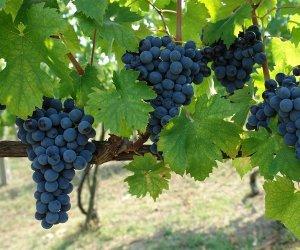 https://www.tp24.it/immagini_articoli/06-10-2014/1412574341-0-viticoltura-allarme-della-cia-per-la-crisi-in-sicilia.jpg