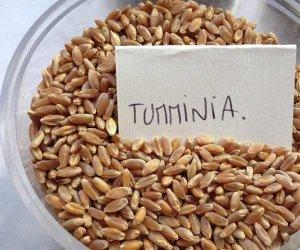https://www.tp24.it/immagini_articoli/07-07-2017/1499430341-0-appartiene-grano-tumminia-litigano-sicilia-veneto.jpg