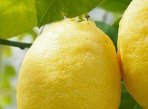 https://www.tp24.it/immagini_articoli/07-09-2016/1473225693-0-crolla-la-produzione-dei-limoni-in-sicilia-allarme-di-coldiretti.jpg