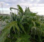 https://www.tp24.it/immagini_articoli/08-01-2019/1546932476-0-danni-maltempo-sicilia-continua-grande-freddo-agricoltura-ginocchio.jpg
