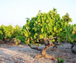 https://www.tp24.it/immagini_articoli/08-12-2015/1449604041-0-pantelleria-alberello-pantesco-il-ministro-martina-scrive-al-sindaco-gabriele.jpg