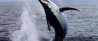 https://www.tp24.it/immagini_articoli/09-01-2018/1515503591-0-pesca-spada-taglia-quote.jpg