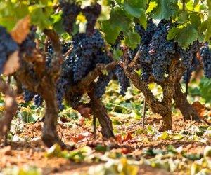 https://www.tp24.it/immagini_articoli/10-08-2017/1502338825-0-sane-ottime-condizioni-previsioni-consorzio-tutela-vini-sicilia.jpg