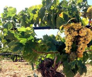 https://www.tp24.it/immagini_articoli/10-08-2018/1533921233-0-provincia-trapani-prezzi-delluva-vino-aumento.jpg