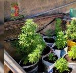 https://www.tp24.it/immagini_articoli/12-07-2018/1531378577-0-mazara-disabile-sedia-rotelle-coltiva-piante-marijuana-arrestato.jpg