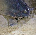 https://www.tp24.it/immagini_articoli/12-08-2018/1534095589-0-altra-tartaruga-depone-uova-spiaggia-marsala-petrosino-video.jpg