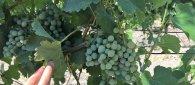 https://www.tp24.it/immagini_articoli/12-08-2020/1597194538-0-vendemmia-2020-in-sicilia-il-consorzio-ottima-annata-per-grillo-e-vini-rossi.jpg