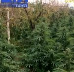 https://www.tp24.it/immagini_articoli/12-10-2018/1539341406-0-maxi-piantagione-marijuana-3300-piante-scoperta-partinico-quattro-arresti.jpg