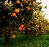 https://www.tp24.it/immagini_articoli/12-11-2019/1573574207-0-agrumeti-innovazione-stanziati-milioni-agricoltori-siciliani.jpg