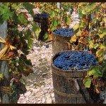 https://www.tp24.it/immagini_articoli/13-12-2013/1386922156-0-vendemmia-2013-la-sicilia-e-al-quarto-posto-numeri-da-record-per-trapani.jpg