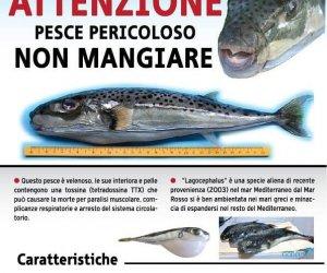 Egadi occhio se pescate il pesce palla tossico non lo for Pesce palla immagini