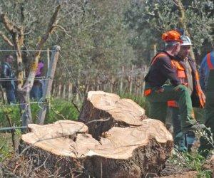 https://www.tp24.it/immagini_articoli/15-04-2015/1429110256-0-virus-della-xylella-caleca-ulivi-siciliani-al-sicuro-nessun-allarme.jpg