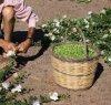 https://www.tp24.it/immagini_articoli/15-08-2021/1629006485-0-nessuno-raccoglie-piu-i-capperi-di-pantelleria-nbsp.jpg