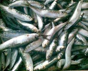 https://www.tp24.it/immagini_articoli/16-10-2013/1381945728-0-certificazione-di-qualita-per-la-sardina-di-selinunte.jpg