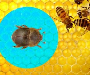 https://www.tp24.it/immagini_articoli/16-10-2014/1413438332-0-un-coleottero-dall-africa-minaccia-la-produzione-del-miele-in-sicilia.jpg