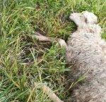 https://www.tp24.it/immagini_articoli/18-01-2019/1547795200-0-pecora-uccisa-cani-castelvetrano-scrive-lallevatore.jpg