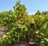 https://www.tp24.it/immagini_articoli/20-10-2020/1603211664-0-petrosino-nbsp-terre-del-sole-zerilli-presenta-il-passito-di-pantelleria-doc.jpg