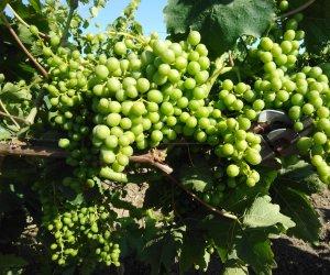 https://www.tp24.it/immagini_articoli/21-06-2020/1592766404-0-viticoltura-via-alla-lsquo-vendemmia-verde-anche-in-sicilia.jpg