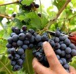 https://www.tp24.it/immagini_articoli/21-12-2017/1513812489-0-vendemmia-crisi-comparto-vitivinicolo-locale-dati-dellunione-italiana-vini.jpg