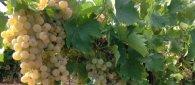 https://www.tp24.it/immagini_articoli/22-04-2019/1555961288-0-crisi-vino-tavola-siciliano-intervengano-istituzioni.jpg
