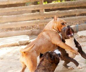 https://www.tp24.it/immagini_articoli/22-05-2015/1432307804-0-trapani-su-rai-2-troppi-pitbull-lombra-dei-combattimenti-clandestini.jpg