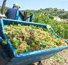 https://www.tp24.it/immagini_articoli/22-09-2020/1600790635-0-salemi-vendemmia-nel-bene-confiscato-alla-mafia-raccolti-70-quintali-di-uva.jpg