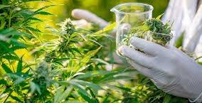 https://www.tp24.it/immagini_articoli/23-01-2020/1579758947-0-medical-marijuana-free-charge-sicily.jpg