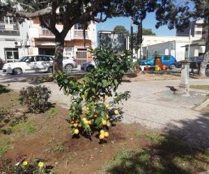 https://www.tp24.it/immagini_articoli/23-02-2021/1614073660-0-marsala-alberi-di-limone-in-piazza-caprera.jpg