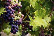 https://www.tp24.it/immagini_articoli/24-11-2019/1574552984-0-sicilia-culla-viticoltura-italiana-dice.jpg