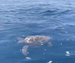 https://www.tp24.it/immagini_articoli/25-07-2021/1627204850-0-una-meravigliosa-tartaruga-nuova-nel-mare-delle-egadi.jpg