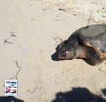https://www.tp24.it/immagini_articoli/26-06-2018/1529997212-0-liberata-favignana-dian-prima-tartaruga-dotata-satellitare.jpg