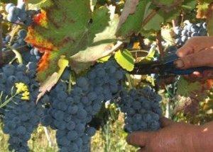 https://www.tp24.it/immagini_articoli/26-08-2014/1409081412-0-la-peronospera-riduce-del-20-la-produzione-di-uva-nel-trapanese.jpg