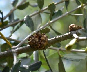 https://www.tp24.it/immagini_articoli/27-01-2017/1485550900-0-castelvetrano-olivicoltori-precocucupati-per-la-rogna-dell-olivo.jpg