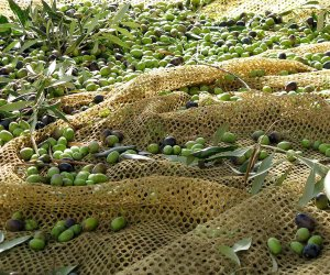 https://www.tp24.it/immagini_articoli/27-09-2016/1474927261-0-castelvetrano-le-olive-si-raccolgono-di-notte.jpg
