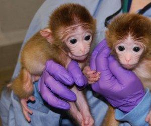 https://www.tp24.it/immagini_articoli/31-01-2012/1379509511-1-le-scimmie-chimeriche-e-gli-umani-ibridi.jpg