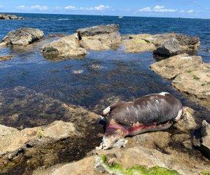 https://www.tp24.it/immagini_articoli/31-05-2020/1590934848-0-trapani-una-mucca-morta-sugli-scogli-nei-pressi-del-porto-nbsp.jpg